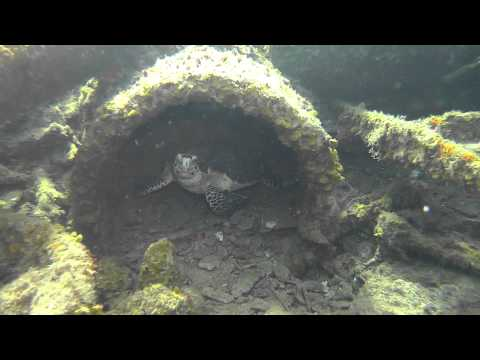 SCUBA Diving the Arimoroa Freighter Wreck with Hawksbill Sea Turtle
