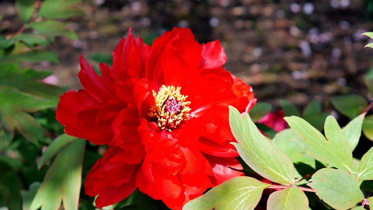 Peonies   tree peony flowers of a Japanese Shinto shrine   YouTube