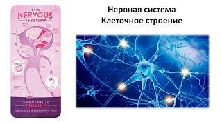 4.1 Нервная система (клетки) (8 класс) - биология, подготовка к ЕГЭ и ОГЭ 2019