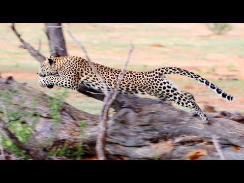 Leopard chasing cheetah