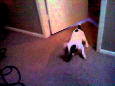 Gizmo the French Bulldog versus the Vacuum...
