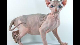 Кошка Эльф (Elf cat) породы кошек( Slide show)!