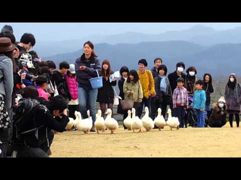 Mother Farm Chiba Duck Walk