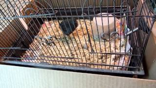 dark male button quail whinning and roaring sounds
