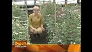 видео Выращивание хризантем в саду – посадка и уход