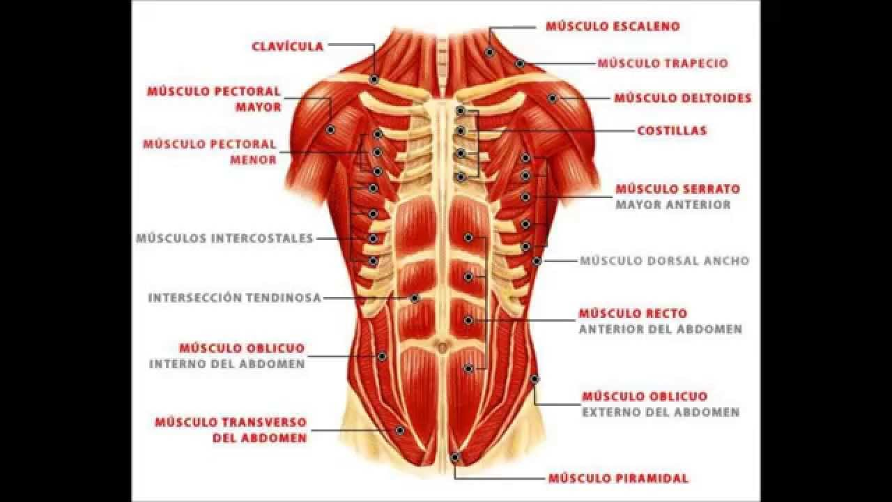Musculos de la pared abdominal - YouTube