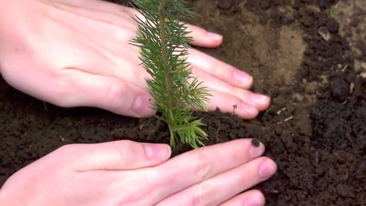 Evergreen Memories Gifts - Tree Seedlings - YouTube