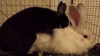 Beautiful Rabbits Mating and Baby Development