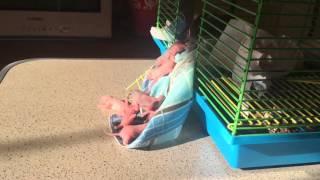Фото Крыса затаскивает крысят в клетку. Мать героиня. Многодетная мать. Крысята. Крыска. Малыши
