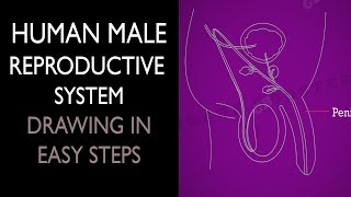 How to draw Male Reproductive System in easy steps: 10th Biology : CBSE Syllabus : NCERT X Science