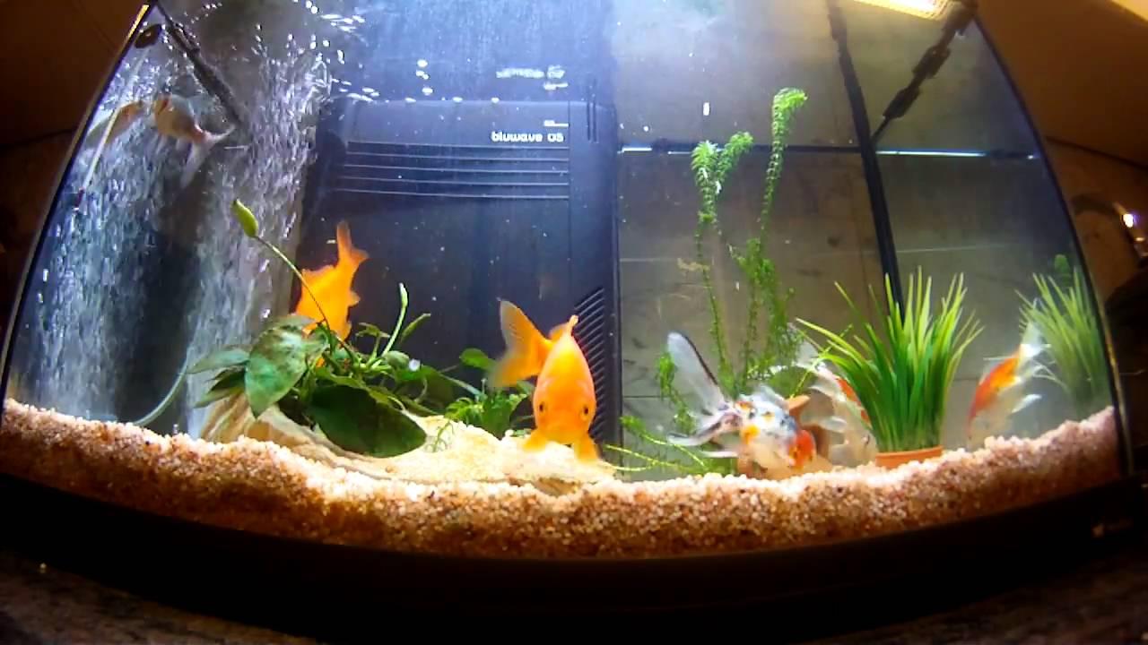 acquario con 5 pesci rossi youtube