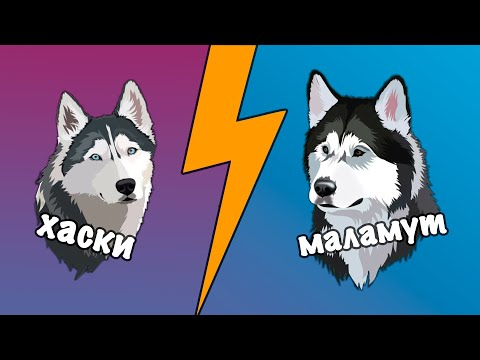 Отличие между Хаски и Маламут?