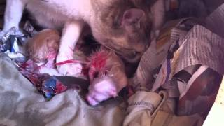 [HD] Best close view of a cat's birth! / Parto de una gata