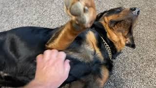 Rottweilers Get Belly Rubs