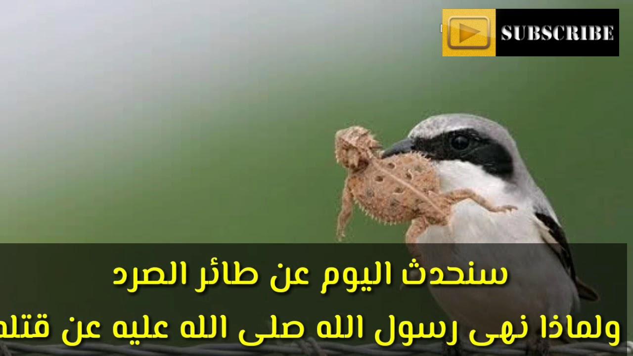 لماذا نهى رسول الله صلى الله عليه وسلم عن قتل طائر الصرد Youtube