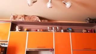 Мейн-куны на кухонном гарнитуре. Младшие коты покоряют высоты