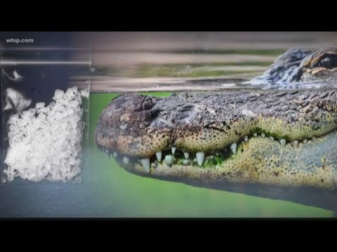 Police: Don't flush drugs; you might make a 'meth-gator'