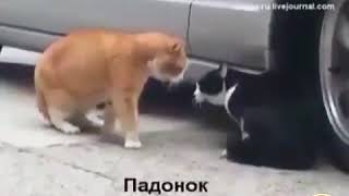 Прикол 2018 (как кошки разговаривает)