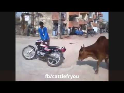 Download Funny Cow - Cow Attack On People Funny Video 2017