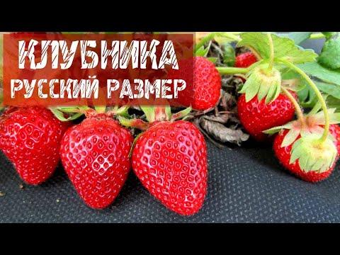 Земляника садовая русский размер.