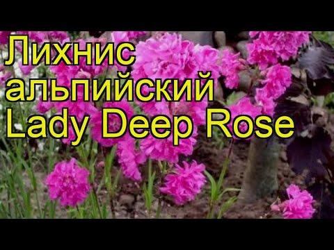 Лихнис альпийский Lady Deep Rose. Краткий обзор, описание характеристик, где купить саженцы