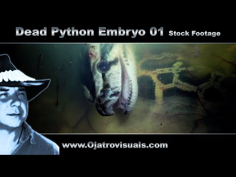 Dead Python Embryo 01 Stock Footage from YouTube · Duration:  2 minutes 56 seconds