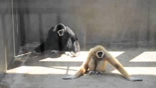 凄く速いシロテテナガザルの父と次男の遊び(いしかわ動物園)