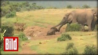 Elefantenherde rettet Junges aus Wasserloch im Addo-Nationalpark (Elefant / Elfenbein)