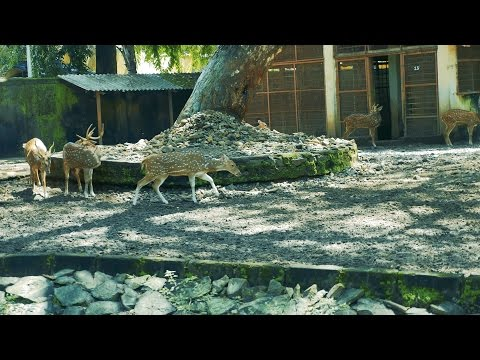 Spotted Deer/ Chital/ Cheetal/  Axis Deer at Mumbai Byculla Zoo/ Jijamata Udyan, India