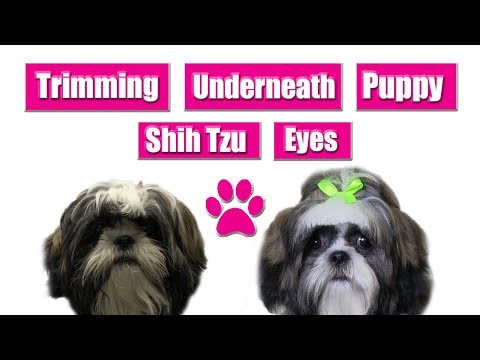Trimming Underneath Puppy Shih Tzu Eyes