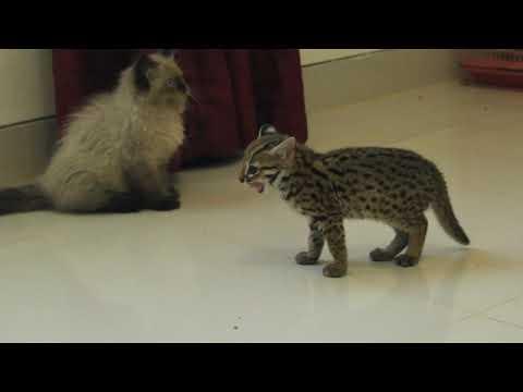 Kucing hutan / blacan / asian leopard