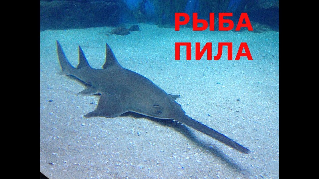 фотографии рыба пила