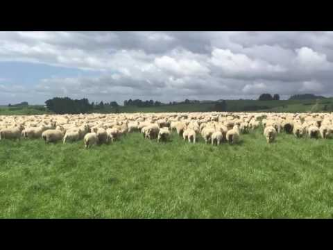 Sheep farming NZ
