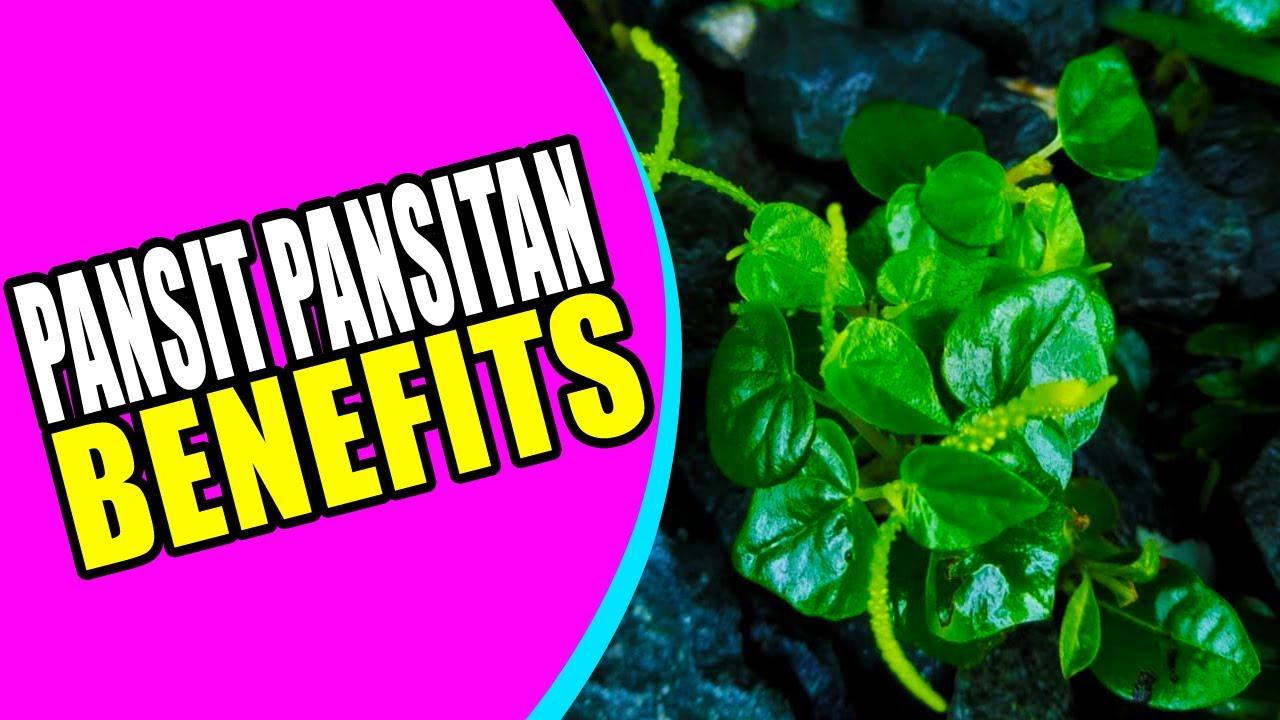 🌿BENEFITS OF PANSIT PANSITAN PLANT 👌 Pansit Pansitan Herbal Medicine #Herbalmedicine