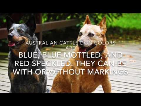 Fun Facts About Australian Cattle Dogs Episode 22