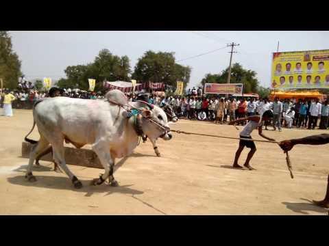 Ongolu bulls rangareddy