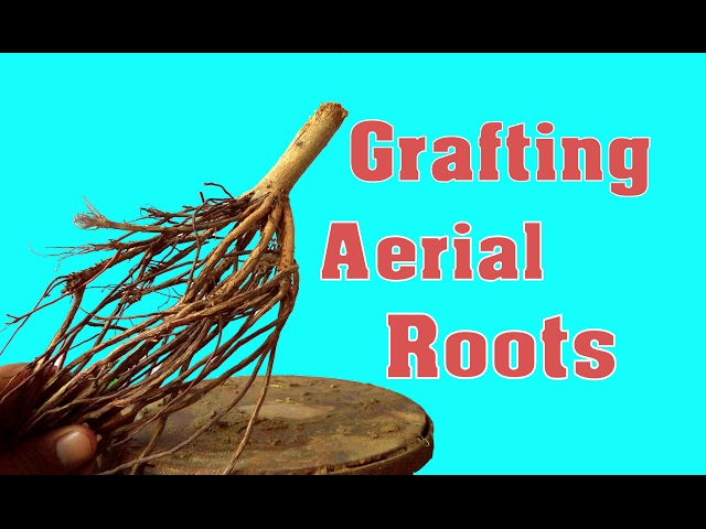 How to Grafting aerial roots With Update | Indian Banyan Tree | New | Experiment | Mammal Bonsai