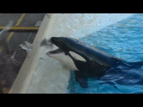 Una orca cazando un ave con una trampa