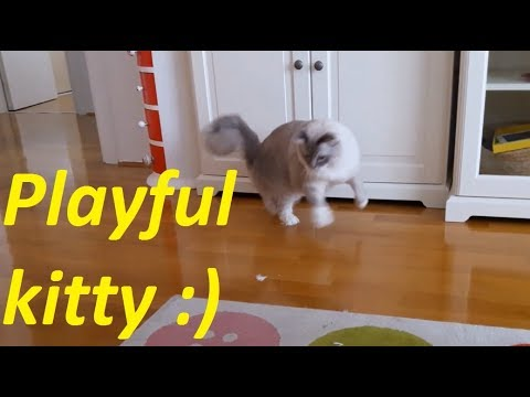 Ragdoll Cat Excited About Paper Ball