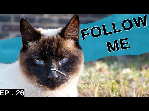A day in the life of a Siamese cat