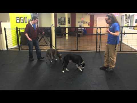 Aggressive dog Rehab, pre fight indicators