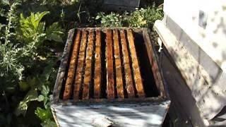 Ошибки пчеловода! ( Как нежелательно подсаживать плодную матку ) обновление 30 июля 2014 года
