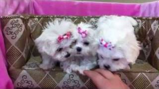 Tiny Teacup Maltese Puppies Perfection!