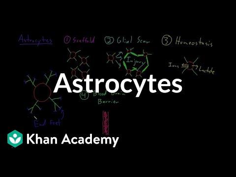 Astrocytes | Nervous system physiology | NCLEX-RN | Khan Academy