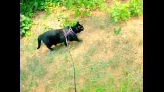 Black Cat Does Dog-like Tricks And Walks On A Leash
