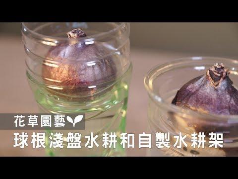 【園藝密技大公開】辦公桌療癒小物!只要馬克杯+水,球根輕鬆開花!