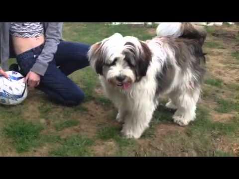 Tibetan Terrier - Sid the playful puppy