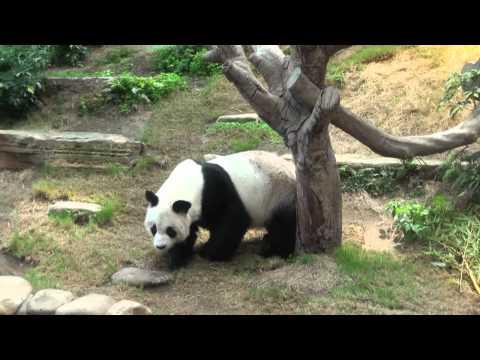 Panda:An An in Hong kong Ocean Park