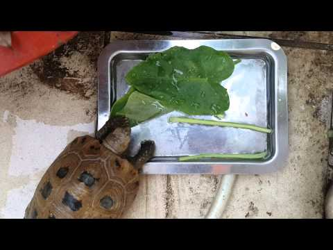 Nom Nom Nom - Elongated Tortoise