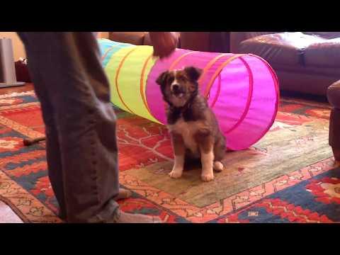 11 week old Nymeria basic training - English Shepherd